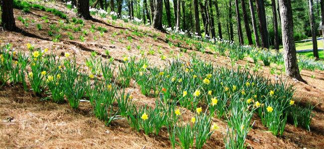 4-5-11 Daffodils lo res